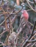 Bird Feeders Purple Finches photos