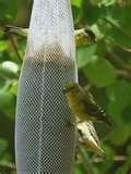 Bird Feeder Nyjer Thistle photos