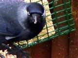 Bird Feeder Jackdaws images