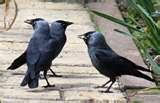 images of Bird Feeder Jackdaws