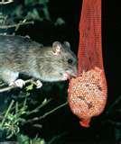 Bird Feeder Mice photos