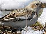 Bird Feeder Snow Bunting