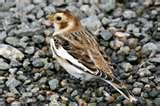 Bird Feeder Snow Bunting photos