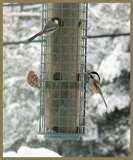 Bird Feeder Snow Bunting pictures
