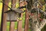 photos of Bird Feeder Goldfinch
