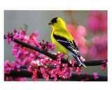 Bird Feeders Goldfinches photos