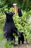 pictures of Bird Feeders Black Bears