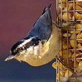 pictures of Peanut Bird Feeder