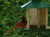 Images of Cardinal Bird Feeder